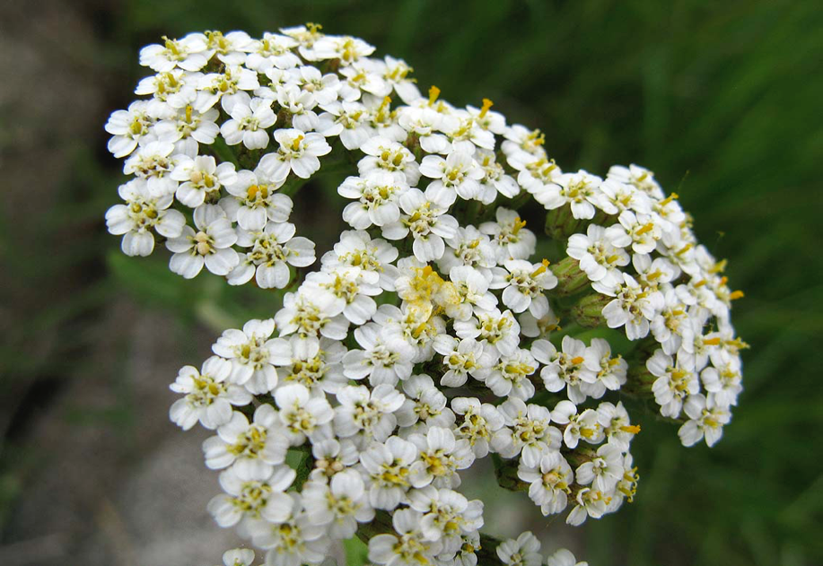 White yarrow for weight loss | LuckyFit