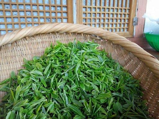 Растение зелен чай