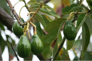 Avocado - health benefits and diets