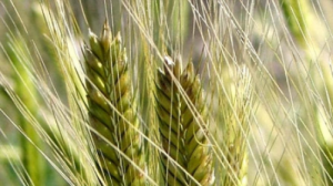 Einkorn - a healthy substitute for wheat
